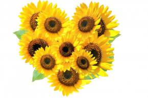 夏の象徴のひまわりを誕生日に贈りませんか?