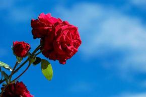 バラが美しく咲く季節がいつかご存知でしょうか?