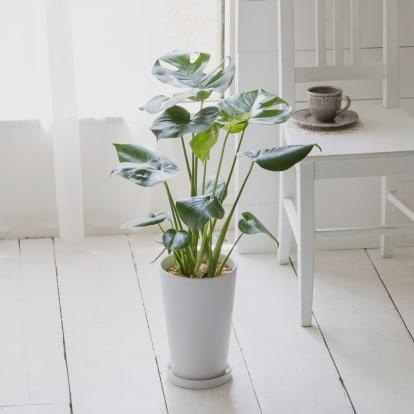 観葉植物 ・ モンステラ