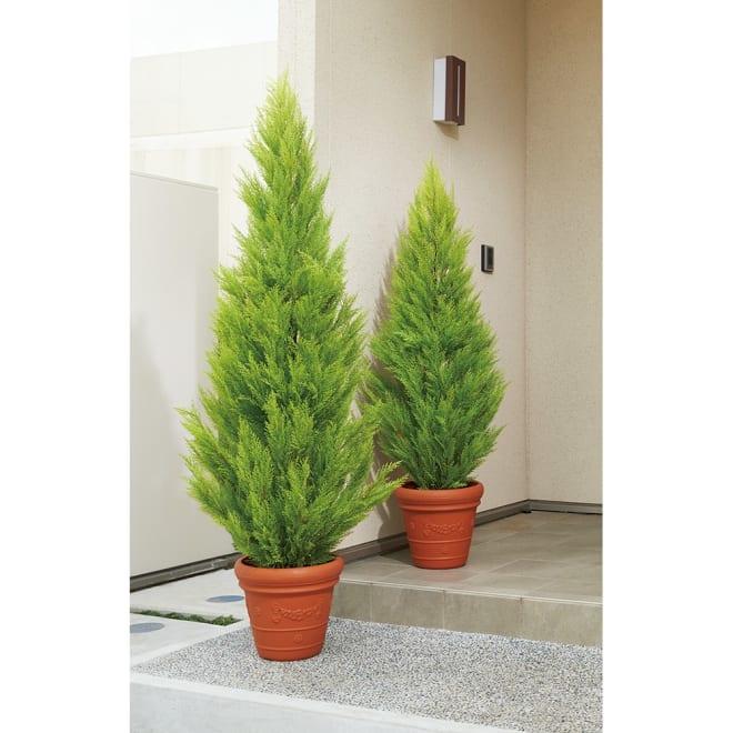 人工観葉植物ゴールドクレスト 高さ160cm ※お届けは奥側高さ160cmの商品になります。
