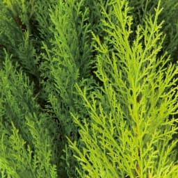 人工観葉植物ゴールドクレスト 高さ190cm 色合いの違う3色の葉をミックス。
