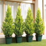 人工観葉植物ゴールドクレスト 180cm お得な2本組 写真