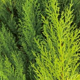 高さ90cm(人工観葉植物ゴールドクレスト) 色合いの違う3色の葉をミックス。