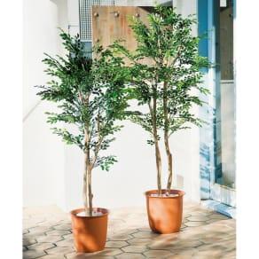 高さ150cm(人工観葉植物シマトネリコ)1鉢 写真