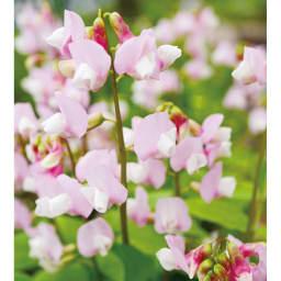 プランター台付きワイドトレリス ロータイプ スイートピーはクレマチスとの花色の相性もばっちり。