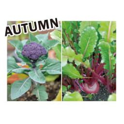 菜園プランター ベジトラグ バルコニーサイズ 季節別にベジトラグにおすすめの植物を紹介します。 大きな葉が存在感のあるブロッコリーやカリフラワーをメインに。株間にはカブやコマツナを。