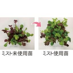 有機JAS規格別表1適合資材バイオゴールド ミスト 1本 同条件で栽培したガーデンレタス。ミストを使用すると葉がイキイキと成長します。