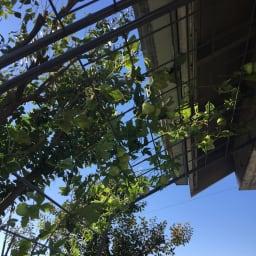 アイアングリーンカーテン〈奥行広々ハイタイプ〉 プランター台付き 上部までたっぷり植物が絡みます。