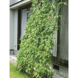 アイアングリーンカーテン〈奥行広々ハイタイプ〉 プランター台付き ※写真はイメージです。 可憐なフウセンカズラ、人気のゴーヤ栽培も。