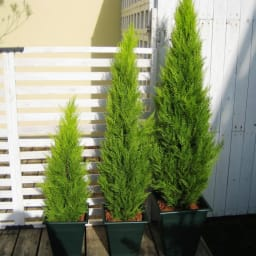 高さ150cm(人工観葉植物ゴールドクレスト) ※お届けの鉢のデザインは若干異なります。