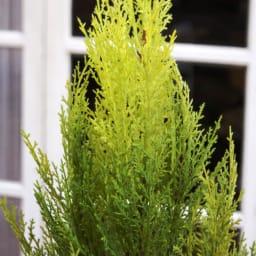 高さ180cm(人工観葉植物ゴールドクレスト) 乱れない樹形もインテリアグリーンの魅力のひとつ。