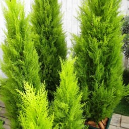 人工観葉植物ゴールドクレスト 120cm お得な2本組 複数本並べて置けば生け垣風の目隠しにも。