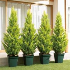 人工観葉植物ゴールドクレスト 180cm お得な2本組