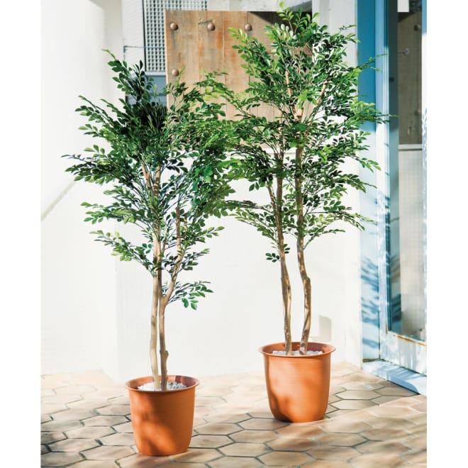 人工観葉植物シマトネリコ ※写真は(左)高さ160cm (右)高さ180cmです。