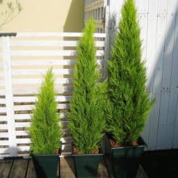 人工観葉植物ゴールドクレスト 180cm お得な2本組 ※お届けの鉢のデザインは若干異なります。