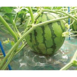 山形県尾花沢産 小玉すいか 秀品 2玉 (約4kg) キズがつかないように台座にのせて育てています。