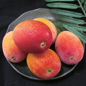 宮崎県産 ワケありマンゴー (約1.4kg) 写真