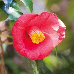 生の椿油 ザ ジャポネイラ 30ml 伊豆大島のヤブツバキに秘められたパワーとは