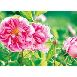 ビクトリアローズDX(デラックス) 120粒 約2,600本のバラから1ccしか採取できないブルガリア産のダマスクスローズオイルを配合しています。