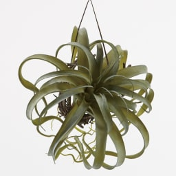 CT触媒加工 インテリアグリーン ビカクシダとキセロのお得な2点セット 合皮のひも付きで吊しても飾れます。