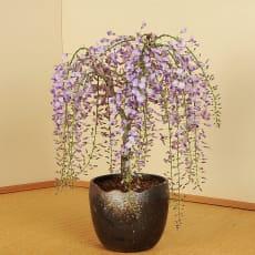 【3月お届け】一才藤盆栽仕立て