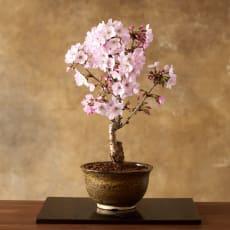 【3月お届け】桜盆栽「御殿場」