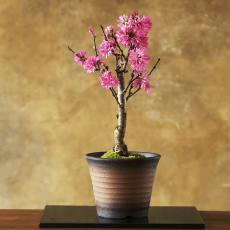 【3月お届け】菊桃盆栽