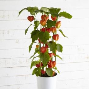 佐賀県特産 ほおずき鉢植え「舞風船」 写真