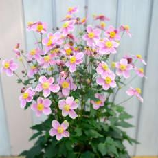 【2020年敬老の日ギフト】 秋明菊「ももいろブーケ」鉢植え