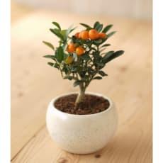 【2020年敬老の日ギフト】 ミニ盆栽 金豆(キンズ)