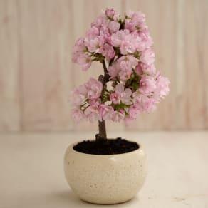 【3月お届け】ミニ桜盆栽「旭山」 写真