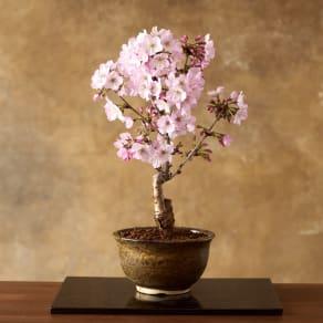 【3月お届け】桜盆栽「御殿場」 写真