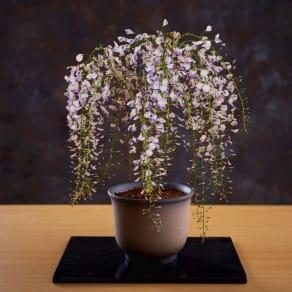 【3月お届け】一才藤盆栽仕立て 写真