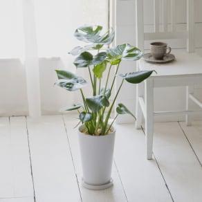 観葉植物 ・ モンステラ 写真