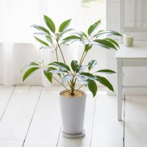 観葉植物 ・ ツピタンサス 写真