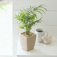 観葉植物 ・ テーブルヤシ