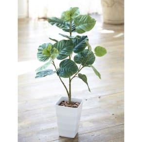CT触媒加工 観葉植物ウンベラータ 写真