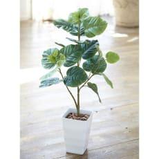 CT触媒加工 観葉植物ウンベラータ
