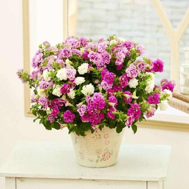 【母の日ギフト】フリル咲き3色サフィニア鉢植え(ピンク系) 暑い夏でも美しい姿が持続する、サフィニアフリル