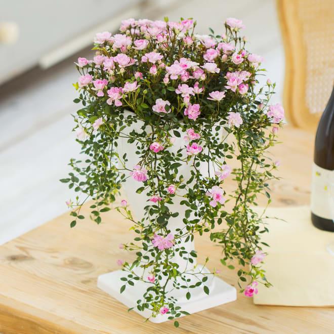 【母の日ギフト】ランドスケープローズ 枝垂れる小さなバラの花が知らせる春の訪れ