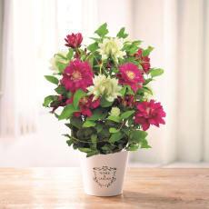 【母の日ギフト】八重咲き紅白クレマチス