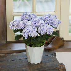 【母の日ギフト】八重咲きアジサイ「プリンセスシャーロット」(ブルー系)
