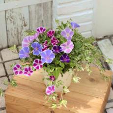 しだれ咲き朝顔「恋しぐれ」寄せ植え