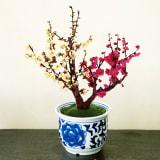紅白梅盆栽 写真
