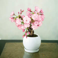 桜盆栽 「旭山(あさひやま)」【お歳暮のし付き】
