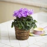 自然開花ミニシクラメン「セレナーディア・ライラックフリル」鉢植え 写真