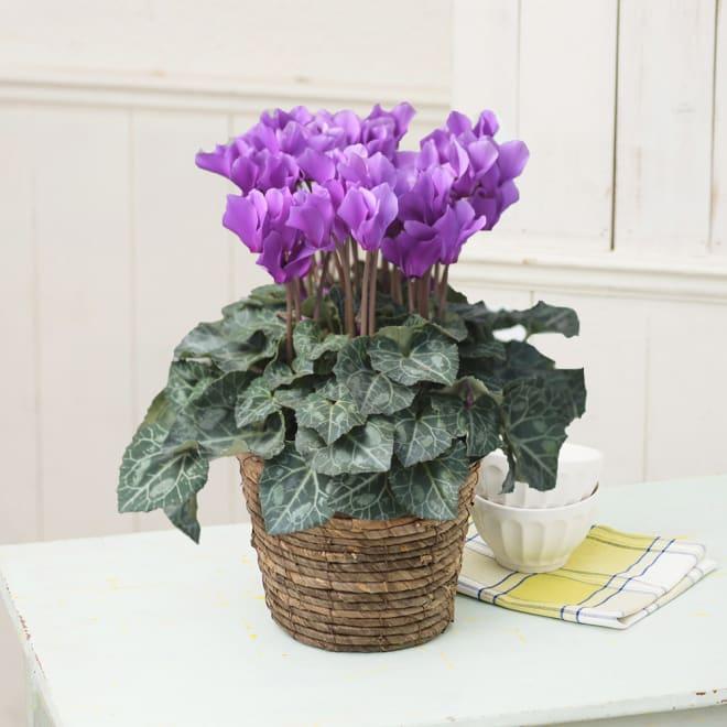 自然開花シクラメン「セレナーディア(アロマブルー)」鉢植え 貴品あるアメジスト(紫水晶)色のシクラメン。