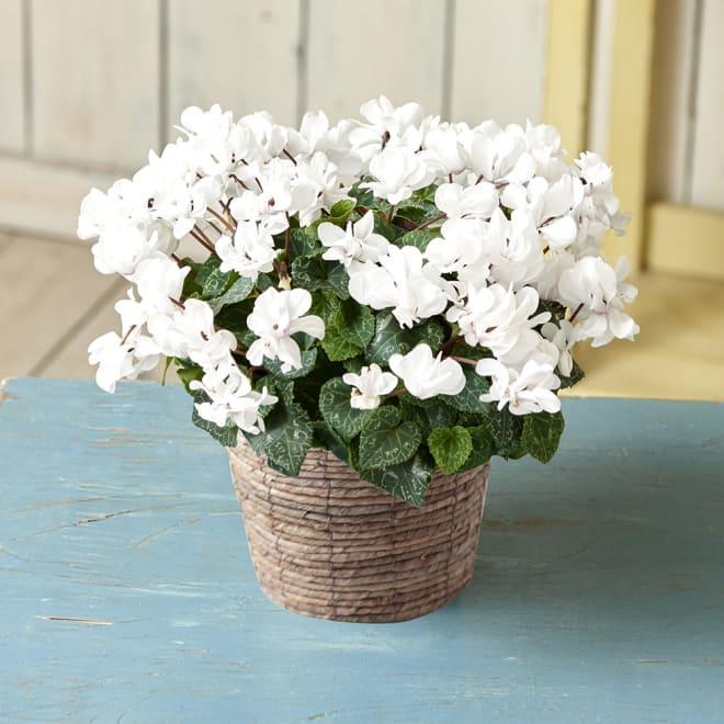 農林水産大臣賞受賞生産者から贈る 自然開花八重咲ミニシクラメン「ウインクホワイト」