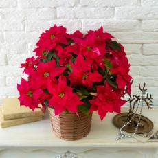 八重咲きプリンセチア「オペラ」鉢植え