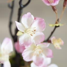 桜の盆栽 小紋筒鉢 (イ)松葉色の桜アップ